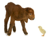 newborn farm animals poster
