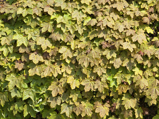 sycamore hedge background