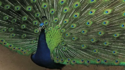 (1255a) A Day at the Zoo Series Peacock Displaying Feathers