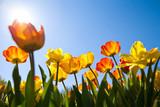 der Sonne entgegenstrebende Tulpen