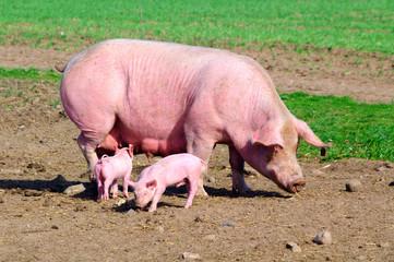 Schweine II