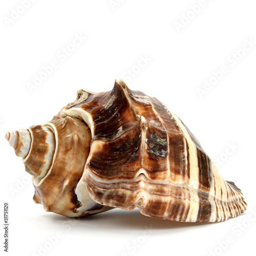 Leinwandbild Motiv Meeresschnecke