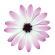 White and Pink Osteosperumum Flower isolated