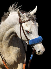 Portrait of Gray Horse