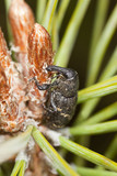 Snout beetle (Hylobius abietis) feeding on fir poster