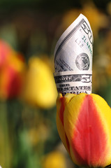 Fifty Dollar Bill in a Yellow and Red Tulip