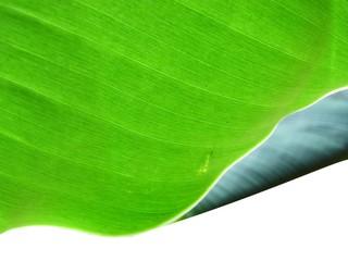 banna leaf texture2
