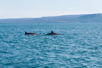 Avvistamento di due balene nel mare di Usavik in Islanda