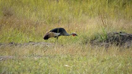 cicogna coronata