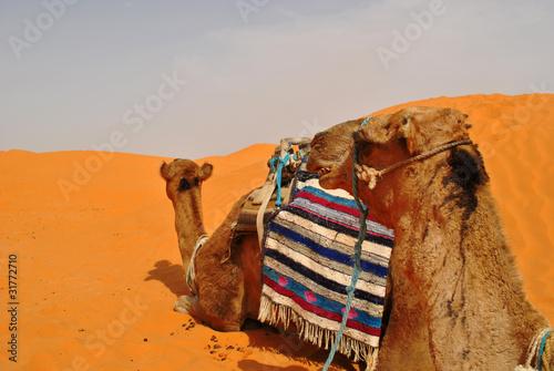 Poster Tunesië camels