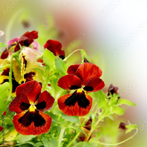 Floral Flower Pansy Border