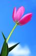 Beautiful Pink Tulip