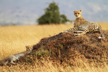Cheetah with cub on the Masai Mara in Kenya