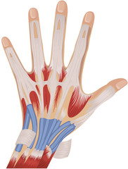 muscles in human hand