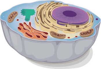an animal cell
