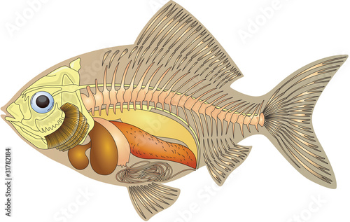 cross section fish anatomy
