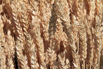 corn, rye, grain
