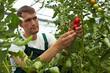 Bauer kontrolliert Tomatenzucht