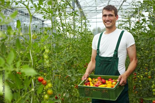 Leinwanddruck Bild Tomatenzucht im Gewächshaus