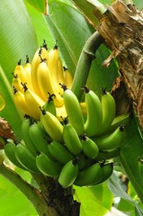 Half ripe bunch of bananas on tree