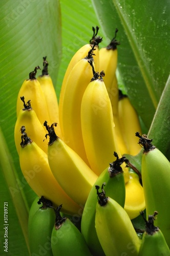 Close up of half ripe bunch of bananas