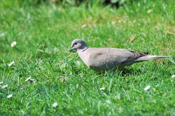 Collared Dove in garden