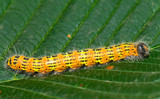 caterpillar on the leaf