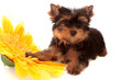 puppy about a yellow flower, isolated.