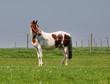 Pinto Horse Grazing in Rural England