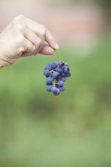 black grape at vinery at hand