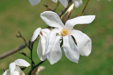 White Magnolia Flower, Wada's Memory