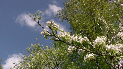 Branch of  apple tree blooming on blue sky background