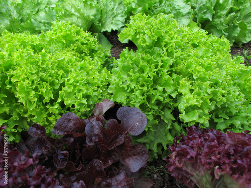 Nutzgarten : verschiedene Salate