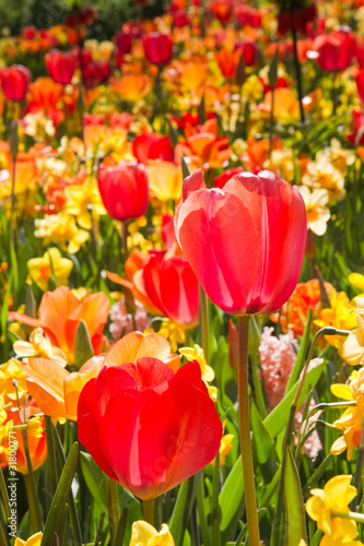 Mix of colorful tulips and daffodils in spring