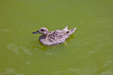 Duck in water of lake