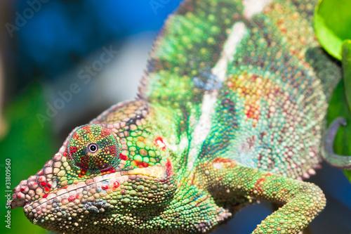 Fotobehang Kameleon caméléon chamaeleo pardalis vert, île de la Réunion
