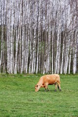 cow, grass and forest in National park Sumava, Czech republic