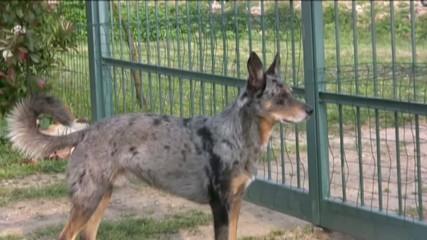cane di guardia