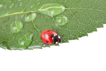 alive ladybug on a leaf with water drops