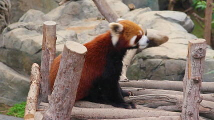 Bored Firefox, or Red Panda in Zoo