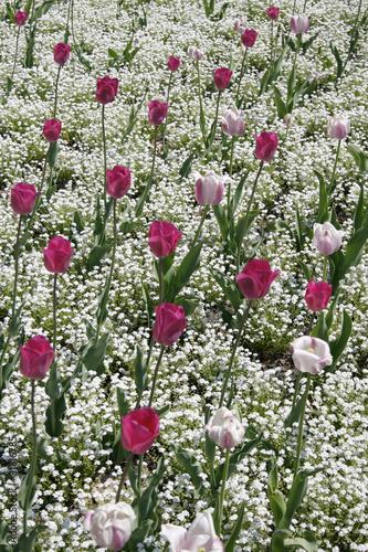 Fototapeta tulpen