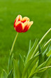 Single red and yellow tulip on green background