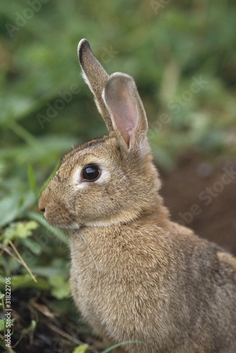 Hare, Ireland