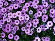 Lila Blumen in der Auslage eines Marktstandes in Heusenstamm