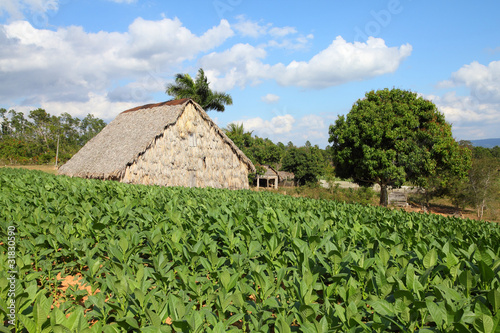 Tobacco field in Vinales National Park, Cuba