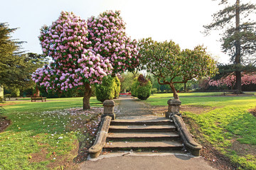 Beautiful azalea tree with old steps