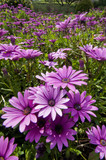 Purple and pink daisy flower in fool bloom poster