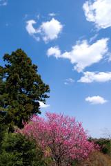 里山の花桃と青空