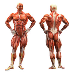 muscle man front and back