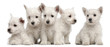 Five West Highland Terrier puppies, 7 weeks old,